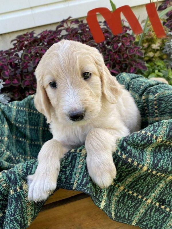 Golden Doodle Puppies.jpg