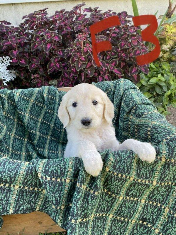 Golden Doodle Puppies1.jpg