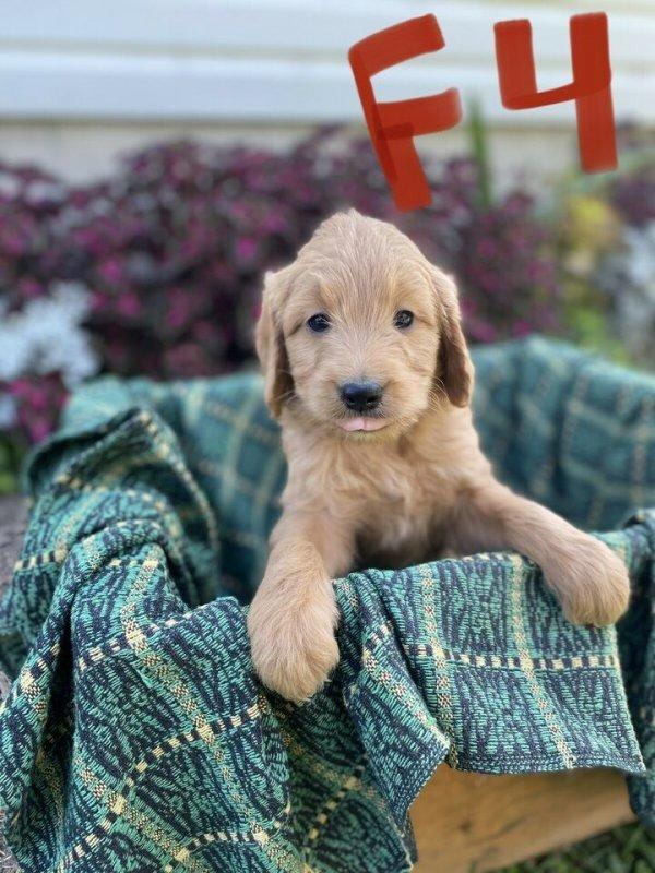 Golden Doodle Puppies2.jpg