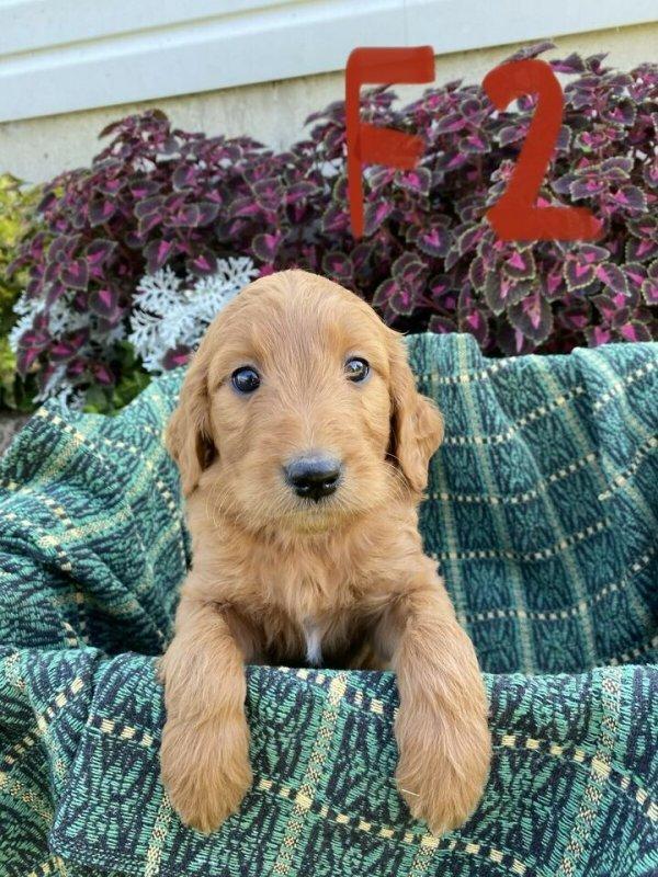 Golden Doodle Puppies3.jpg