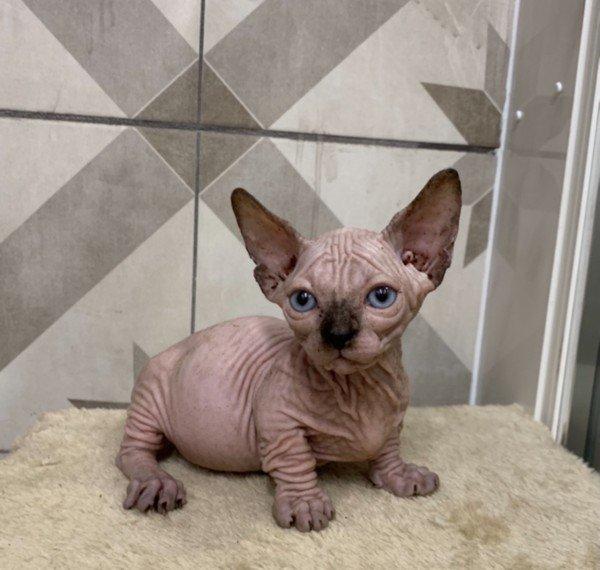 lovely-little-sphynx-kittens-very-wrinkly-5fb817bbca984.jpg