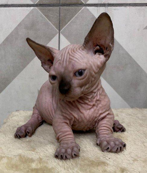 lovely-little-sphynx-kittens-very-wrinkly-5fb817bea82f1.jpg
