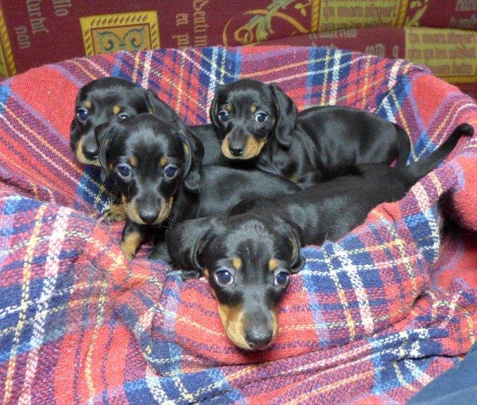 miniature-smooth-haired-dachshund-601451ed36f5e.jpg