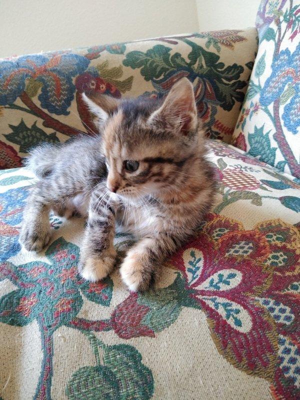 Cute Kittens For Adoption Near Ft. Worth (Dallas), Texas